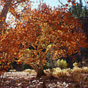 Sycamore Trees Fall Colors Art Print