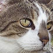 Tabby Cat Art Print