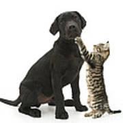 Tabby Male Kitten & Black Labrador Print by Mark Taylor
