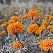 Tagetes Erecta / Aztec Marigold Flower Art Print