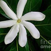 Tahitian Gardenia Art Print