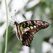 Tailed Jay Butterfly Art Print