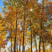 Tall Aspen With Sunstar Art Print