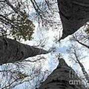Tall Birches Art Print