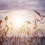 Tall Grass At Sunset Art Print