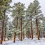 Tall Snowy Pines Art Print