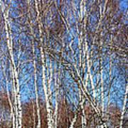 Tall White Birches Art Print