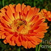 Tangerine Calendula Art Print