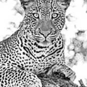 Tarangire Leopard Art Print