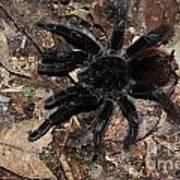 Tarantula Amazon Brazil Art Print