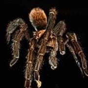 Tarantula Love  Art Print