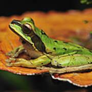 Tarraco Treefrog On Mushroom Costa Rica Art Print