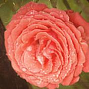 Tattered Rose Art Print