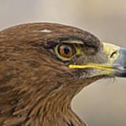 Tawny Eagle 3 Art Print