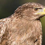 Tawny Eagle Portrait Art Print