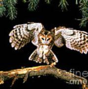 Tawny Owl Art Print