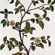 Tea Branch Of Camellia Sinensis Print by Anonymous