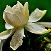 Tears Of A Flower Art Print