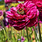 Tecolote Ranunculus Flowers By Diana Sainz Art Print