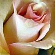 Tender Rose Bud Art Print