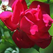 Teresas Fuchsia Rose IIi Art Print