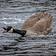 Territorial Canadian Goose Art Print
