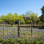 Texas Bluebonnet Lupine Pature Art Print