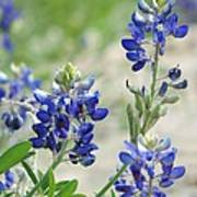 Texas Bluebonnets 01 Art Print