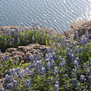 Texas Bluebonnets At Lake Travis Art Print by Rebecca Cearley