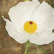 Texas Prickly Poppy Wildflower Art Print