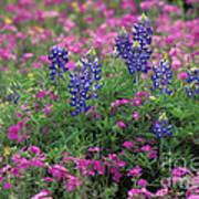 Texas Wildflowers 3 - Fs000930 Art Print