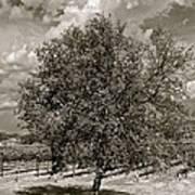 Texas Winery Tree And Vineyard Art Print