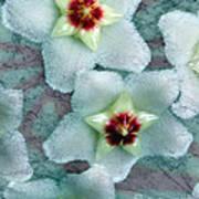 Textured Hoya Art Print