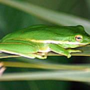 The American Green Tree Frog Art Print