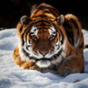 The Amur Tiger Art Print