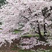 The Arboretum Cherry Blossoms Art Print