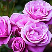 The Barbara Streisand Rose Art Print