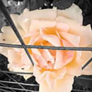 The Beautiful Rose Art Print