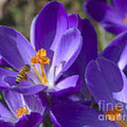 The Bee And The Crocus Art Print
