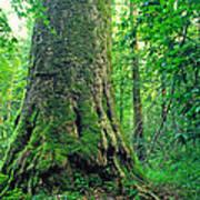 The Big Sycamore Tree Art Print