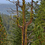 The Big Tree Fork Art Print