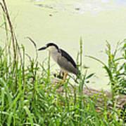 The Black-crowned Night Heron Art Print