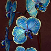 The Blue Orchid Art Print