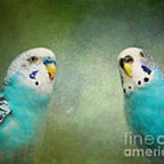 The Budgie Collection - Budgie Pair Art Print