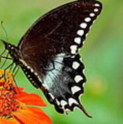 The Butterfly And The Zinnia Art Print