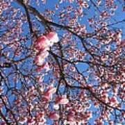 The Cherry Blossons Art Print
