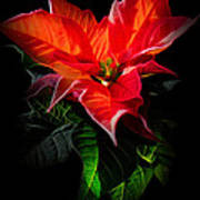 The Christmas Flower - Poinsettia Art Print