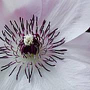 The Clematis Flower Art Print