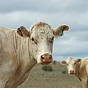 The Cows Art Print