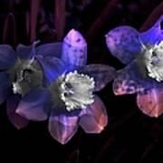 The Daffodil Trio Art Print